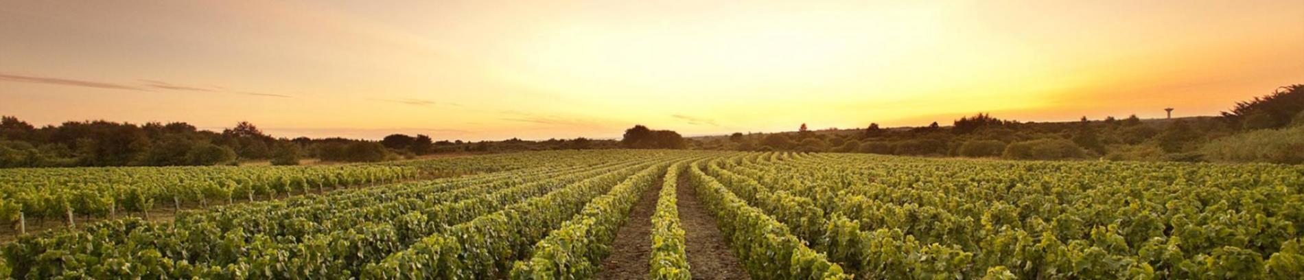 Slide champ de vignes